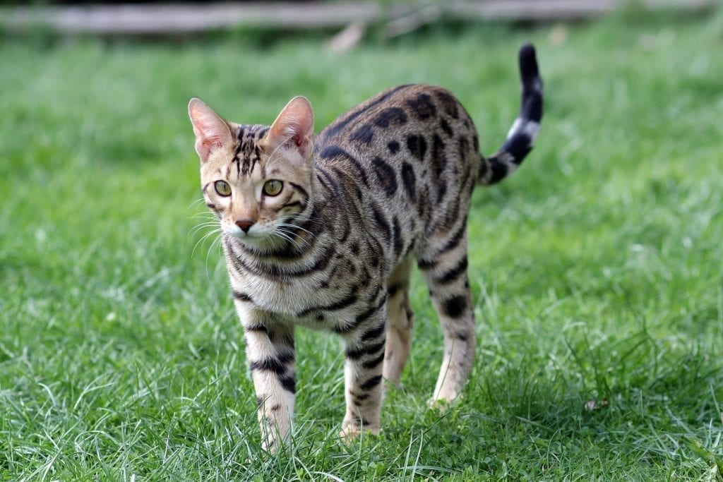 A cute Bengal standing in some short lawn grass pondering about what the best cat toy is.
