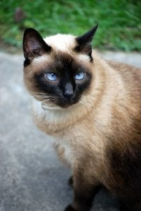A Siamese Cat With Blue Eyes Hoping It Gets A good Name