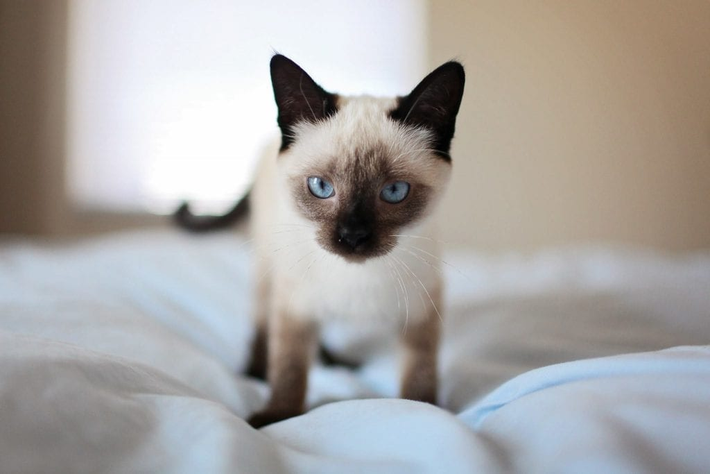 A cute siamese cat with blue eyes