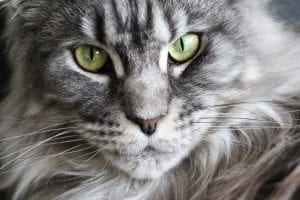 Maine Coon Cats Like Water!