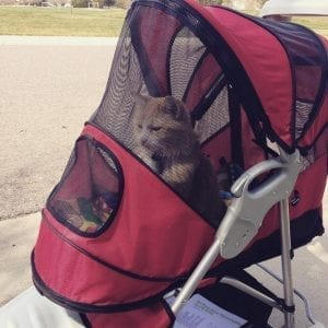 A cat that is chilling in a cat stroller. He likes having more space in one of these than in a bit more cramped cat backpack.