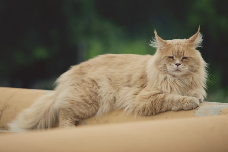 This is a photo of a Maine Coon Cat