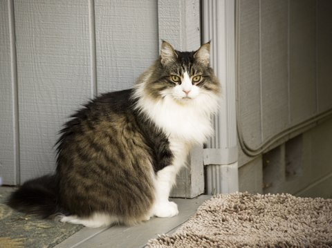 A maine coon cat looking for her litter box