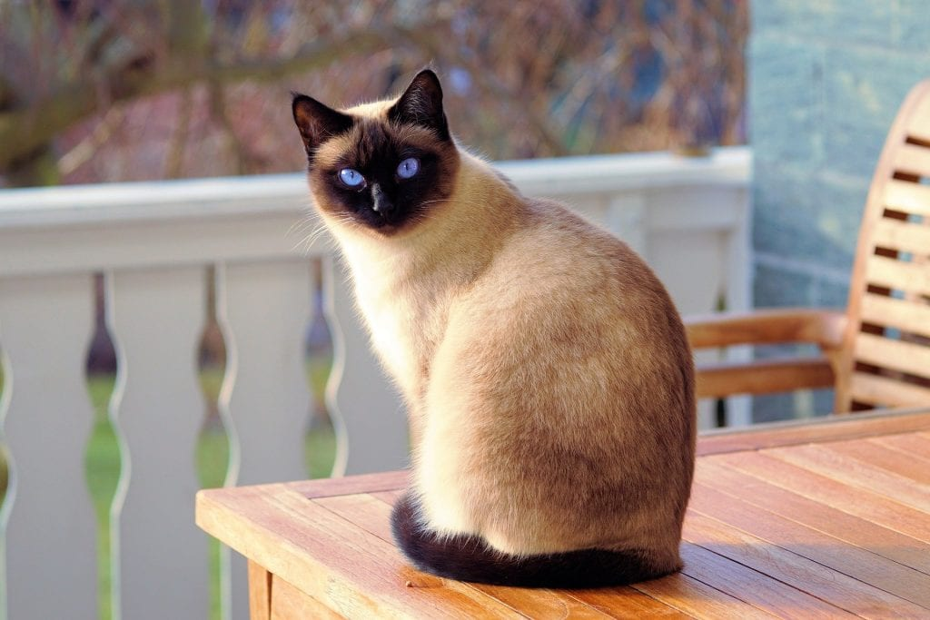 A siamese cat sitting on a table waiting to play.