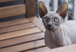 A Sphynx cat looking chilly