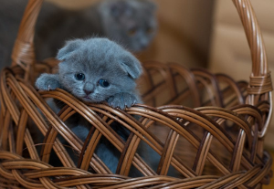 A kitty chilling in a traditional pouch