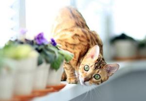 Bengal cat climbing around