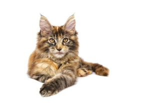 a maine coon cat, one of the breeds that actually like water!